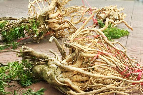 Rễ cây đinh lăng điều trị thoát vị đĩa đệm